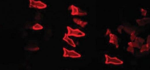 Микроскопические «рыбки» очистят вашу кровь от токсинов